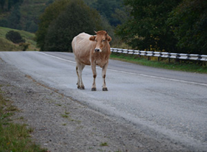 Prejuízo por animal solto em pista de rodovia será coberto por empresa concessionária